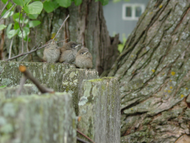 Three baby Wrens sitting on the fence.