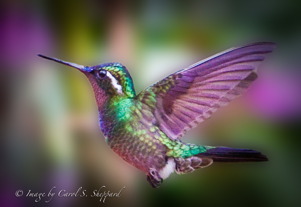 Colorful hummingbirds flying - photo#35